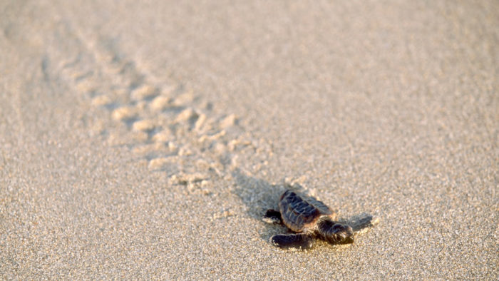 3. Sea Turtle Walks
